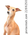 faun, italian greyhound, dog 2269250