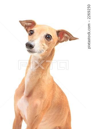 faun, italian greyhound, dog 2269250