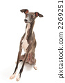 italian greyhound, dog, dogs 2269251