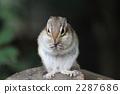 Chimarises frontal to eat food 2287686