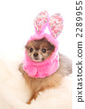 pomeranian, dog, dogs 2289955