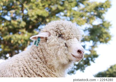 sheep 2294280
