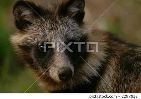 Raccoon (summer hair) 2297828