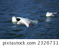 black-headed, gull, bird 2326731