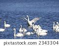 天鵝傳播翼的天鵝 2343304