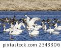 天鵝傳播翼的天鵝 2343306