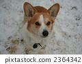 彭布洛克威爾士科基犬 柯基 威爾士矮腳狗 2364342