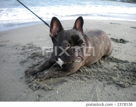 French bulldog and the sea 2378536