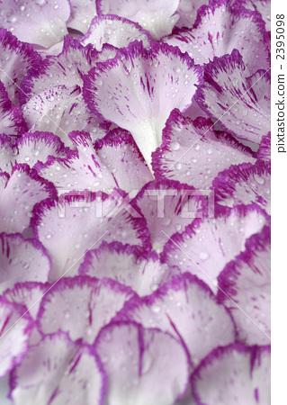 Carnation petals 2395098