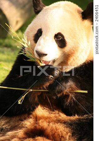 panda, pandas, terrestrial animal 2406451