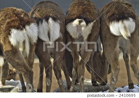 일본 사슴의 엉덩이 2410695
