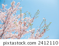 cherry blossom, cherry tree, cherry tree in leaf 2412110