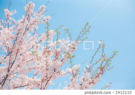 벚꽃, 벚나무, 식물 2412110