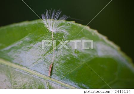 솜털, 초엽, 풀잎 2412114
