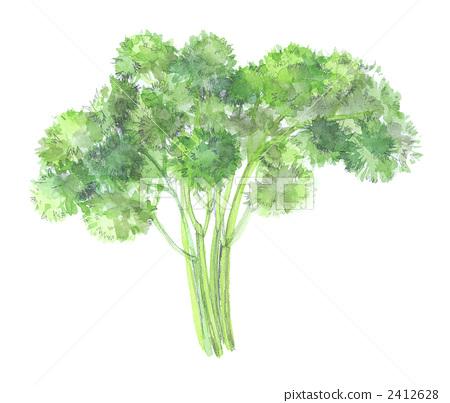 parsley 2412628