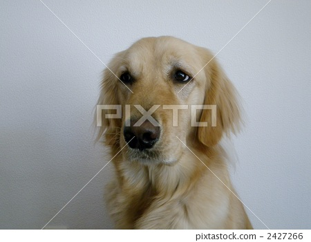 golden retriever, 2-3 Year, one small animal 2427266