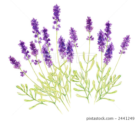 lavender 2441249