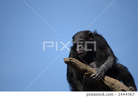 Chimpanzee 2444567