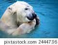 Polar bears 2444736