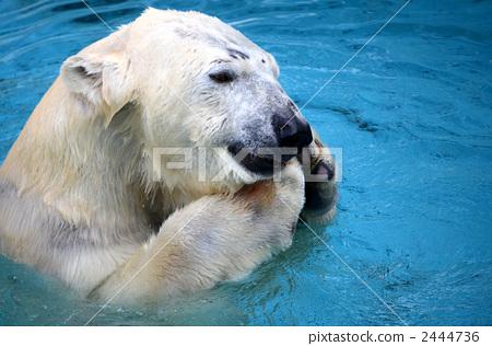 bear, bears, polar bear 2444736