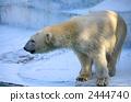 Polar bears 2444740