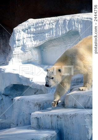 Polar bears 2444756