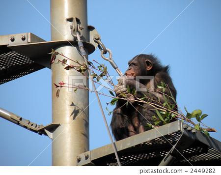 침팬지 2449282