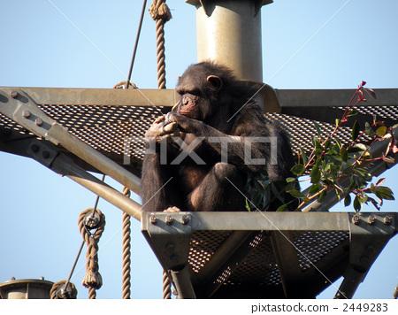 Chimpanzee 2449283