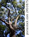 大樹 高大的樹 樟木 2450875