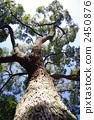 大樹 高大的樹 樟木 2450876