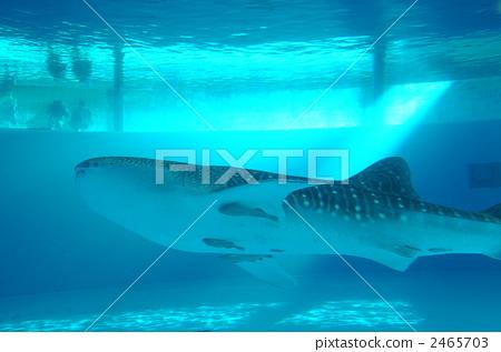 Whale shark 1 2465703