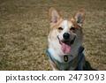 彭布洛克威爾士科基犬 柯基 威爾士矮腳狗 2473093