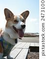 彭布洛克威爾士科基犬 柯基 威爾士矮腳狗 2473100