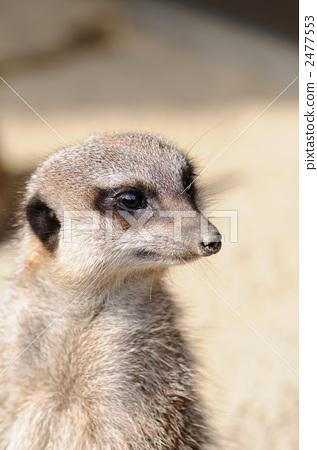 Meerkat's portrait 2477553