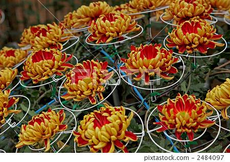 Mino chrysanthemum 2484097