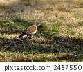 白腹鶇 冬候鳥 野生鳥類 2487550