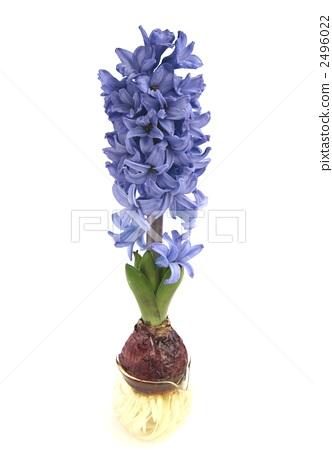 Hyacinth 2496022