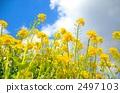 油菜花 油菜 植物 2497103