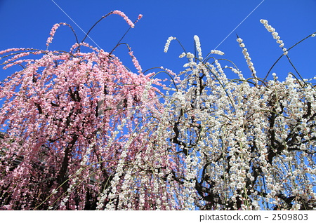 Japanese apricot, weeping japanese apricot, white plum blossoms 2509803