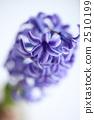 hyacinth, hyacinths, hyacinthus 2510199