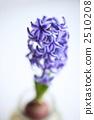 hyacinth, hyacinths, hyacinthus 2510208