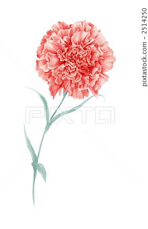 Carnation 1 2514250