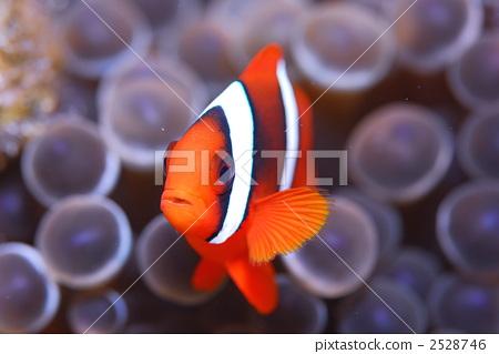 Anemone fish 2528746