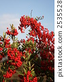pyracantha, fire, thorn 2535528