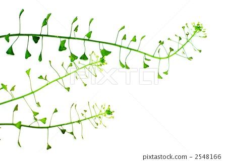 薺菜 三味線草 可愛的花兒 2548166