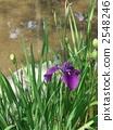 Oyster Bata 1007pix. 2548246