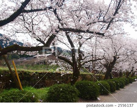 Akitsuki的櫻花 2556137