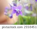 violet, violets, bloom 2556451
