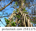 ivy, tendril, vine 2581175