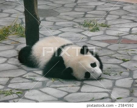 팬더, 판다, 동물 2584592